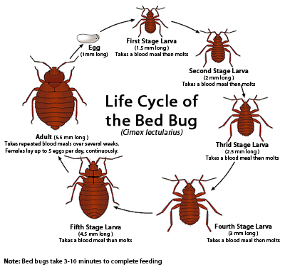 life_cycle_bed_bug_small